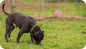 Pit Bull Terrier/American Staffordshire Terrier Mix Dog for adoption in Reedsport, Oregon - Major