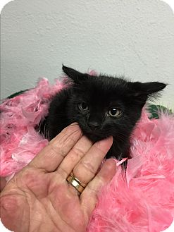 Domestic Shorthair Kitten for adoption in Miami Shores, Florida - Phantom