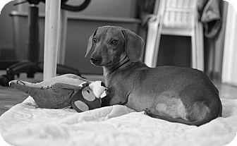 Dachshund Dog for adoption in West Bloomfield, Michigan - Buddy