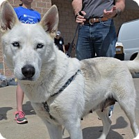 Husky Mix Dog for adoption in Rockville, Maryland - Lillian