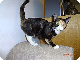 Calico Kitten for adoption in Saint Albans, West Virginia - Sally