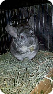Chinchilla for adoption in Patchogue, New York - Basil