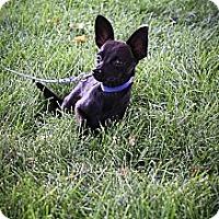 Adopt A Pet :: Aristotle - Broomfield, CO