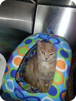 Domestic Shorthair Cat for adoption in Chesapeake, Virginia - Maxwell
