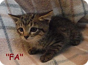 Domestic Shorthair Kitten for adoption in Batesville, Arkansas - Fa