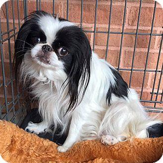 Japanese Chin Dog for adoption in Atlanta, Georgia - Marilyn