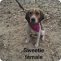 Adopt A Pet :: Sweetie-pending adoption - Manchester, CT