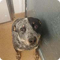 Adopt A Pet :: Rosie - Chama, NM
