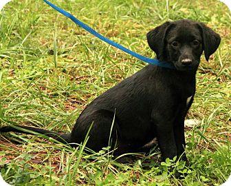 Labrador Retriever Mix Puppy for adoption in Windham, New Hampshire - Sara Lee ($50.00 OFF)