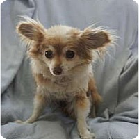 Adopt A Pet :: Fluffy - Toluca Lake, CA