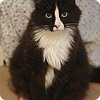 Adopt A Pet :: Tux - Columbia, MD