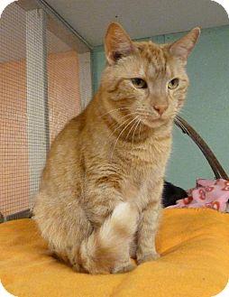 American Shorthair Cat for adoption in Westville, Indiana - Bradley