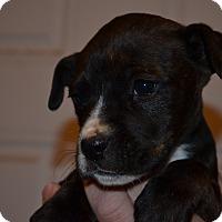 Adopt A Pet :: Mackenzie - Westminster, CO