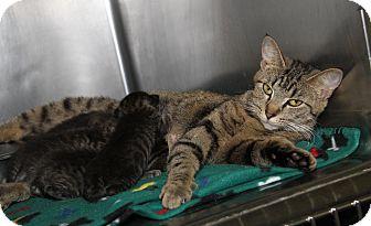 Domestic Shorthair Cat for adoption in Marietta, Ohio - Sasha & Kittens (UPDATE)