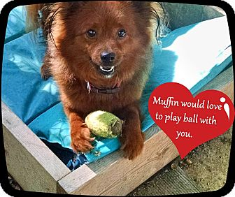 Pomeranian/Terrier (Unknown Type, Small) Mix Dog for adoption in Franklinton, North Carolina - Muffin-