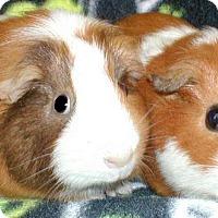 Adopt A Pet :: Slurpuff - Steger, IL