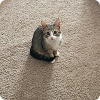 Adopt A Pet :: Dickory 34349136 - Westampton, NJ