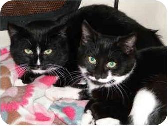 Domestic Shorthair Kitten for adoption in Putnam Valley, New York - Chloe