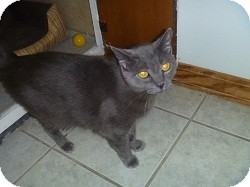Domestic Shorthair Cat for adoption in Hamburg, New York - Shimmer