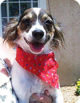 Papillon Mix Dog for adoption in Torrance, California - Mercee