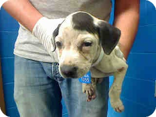 American Pit Bull Terrier Mix Puppy for adoption in Antioch, Illinois - Reba ADOPTED!!