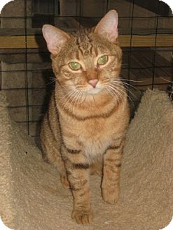 Domestic Shorthair Cat for adoption in Bloomsburg, Pennsylvania - Murphy