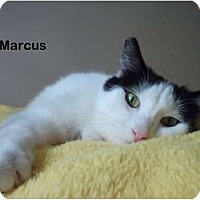 Adopt A Pet :: Marcus - Portland, OR