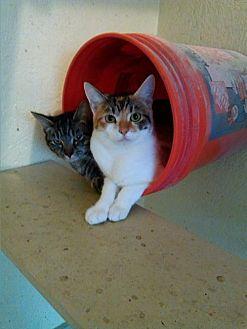 Calico Cat for adoption in Live Oak, Florida - Bella
