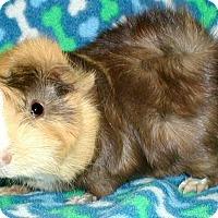 Adopt A Pet :: Smarty - Steger, IL
