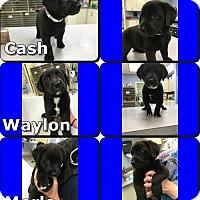 Adopt A Pet :: Cash - Byhalia, MS