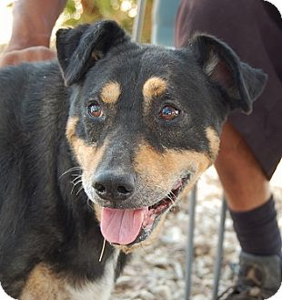 Rottweiler/Labrador Retriever Mix Dog for adoption in Las Vegas, Nevada - Scotty