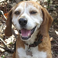 Beagle Mix Dog for adoption in Dumfries, Virginia - Sammy