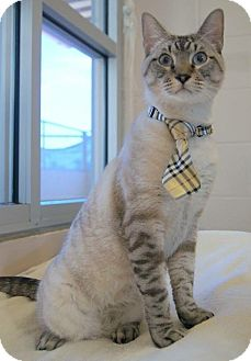 Siamese Cat for adoption in Plano, Texas - HOMER - LYNX POINT LOVER