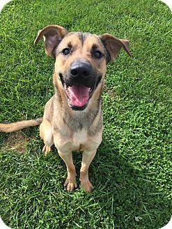 German Shepherd Dog Mix Dog for adoption in Xenia, Ohio - Cooper