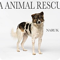 Adopt A Pet :: Naruk - Los Angeles, CA