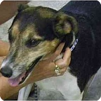 Terrier (Unknown Type, Medium)/Rat Terrier Mix Dog for adoption in Orlando, Florida - Koby