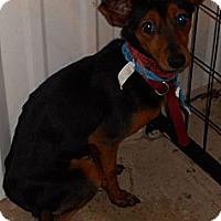 Adopt A Pet :: Min Pin Mix - Aloha, OR