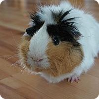 Adopt A Pet :: Lily - Brooklyn Park, MN