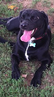 Labrador Retriever/American Pit Bull Terrier Mix Dog for adoption in Columbia, Kentucky - Sadie