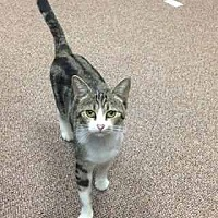 Adopt A Pet :: Miss kitty - Prestonsburg, KY