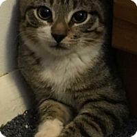 Adopt A Pet :: Siena - Reston, VA
