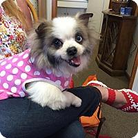 Adopt A Pet :: Swirl - Grass Valley, CA