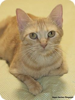 Domestic Shorthair Cat for adoption in Nashville, Tennessee - Prairie Dawn