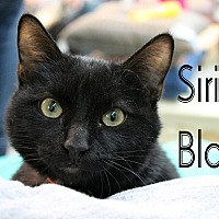 Adopt A Pet :: Sirius Black - Wichita Falls, TX