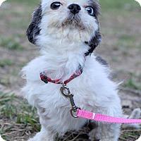 Adopt A Pet :: Charles ADOPTION PENDING - Waldorf, MD