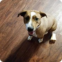 Adopt A Pet :: Abby - Foristell, MO