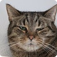 Domestic Shorthair Cat for adoption in Union Lake, Michigan - Milton>^.,.^< $35 adoption
