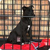 Adopt A Pet :: Percy - North Hollywood, CA