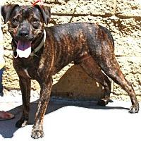 Adopt A Pet :: Little Man - Gilbert, AZ