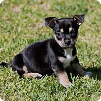 Adopt A Pet :: Loki - La Habra Heights, CA